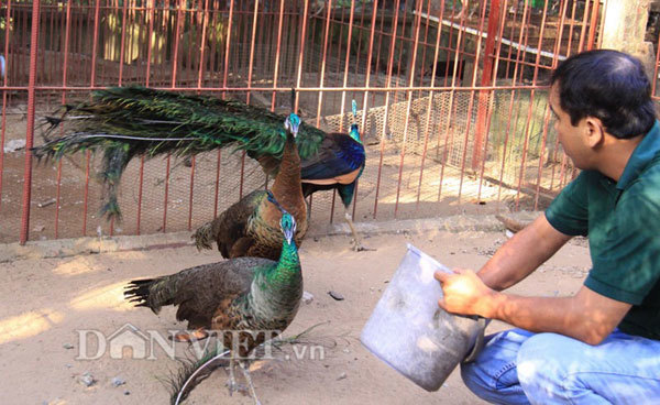 Nam Dinh,nurturing peacocks at home,high income