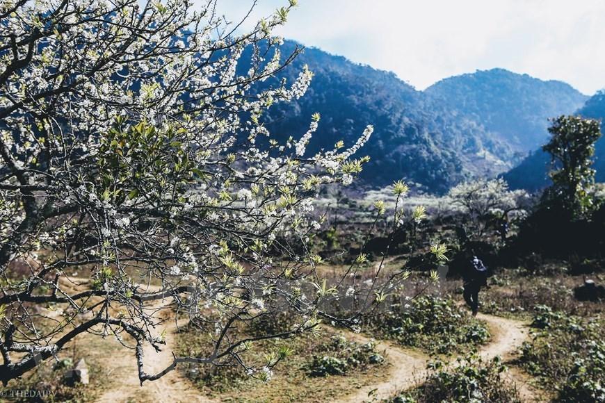 Plum blossoms cover Moc Chau valleys