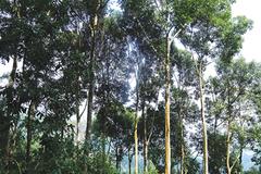 Vùng đất những cây quế cổ thụ to bự, cứ rung cây là có chục triệu