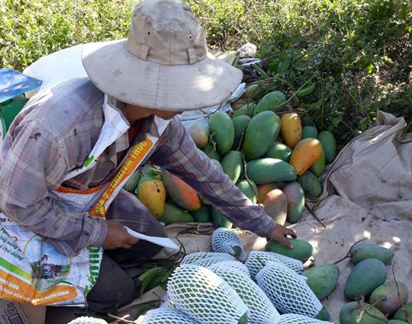 Mỏi tay đếm tiền nhờ trồng xoài theo cách 'chẳng giống ai'