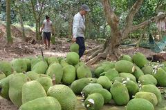 Đầu năm mất giá, 1.000 đồng/kg, vạn tấn trái cây ế nặng