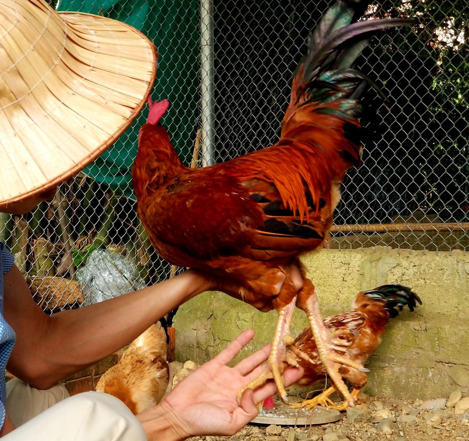 Trai Huế nuôi gà truyền thuyết 9 cựa, bán dịp giỗ Tổ 400 ngàn/kg