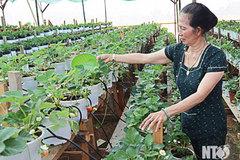 Chuyện lạ: Nơi nóng nhất Việt Nam trồng được dâu tây nhờ tưới sữa