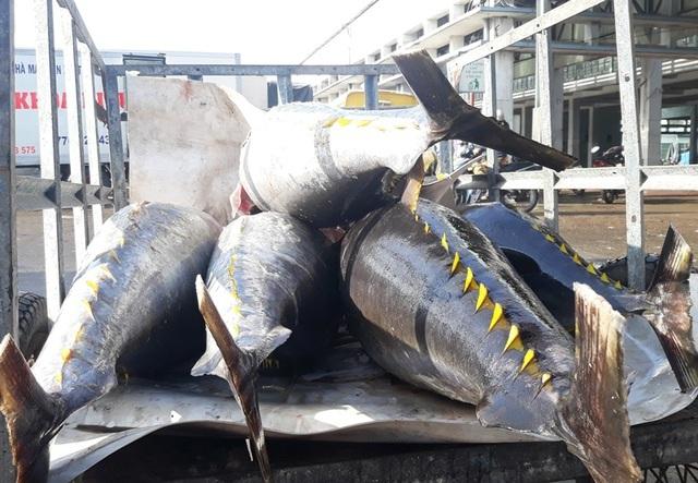 Cá ngừ tụt giá, ngư dân thất thu chuyến biển đầu năm