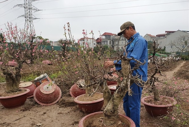 Peach blossom farmers back to work after Tet