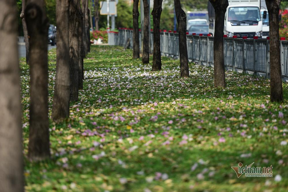 Hoa kèn hồng nở rực trên phố Sài Gòn