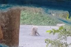 Khỉ đực quý hiếm xổng chuồng chạy khắp nơi, cắn người bị thương