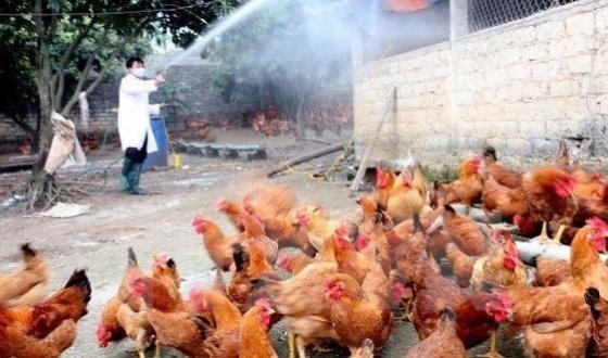 cúm gia cầm,cúm a/h5n5,chăn nuôi gia cầm