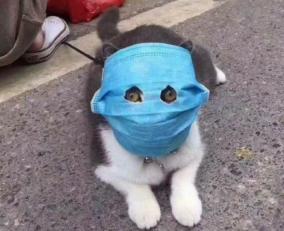 Hình ảnh mèo đeo khẩu trang phòng virus corona gây sốt