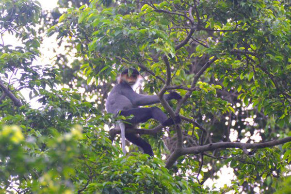 WWF-Vietnam, GreenViet work to protect endangered primates
