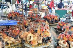 Mang bu gà ra vỉa hè cắt tiết mổ tươi, ổ dịch ngay trước cửa nhà