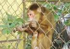 Quang Binh man hands over rare monkey to national park