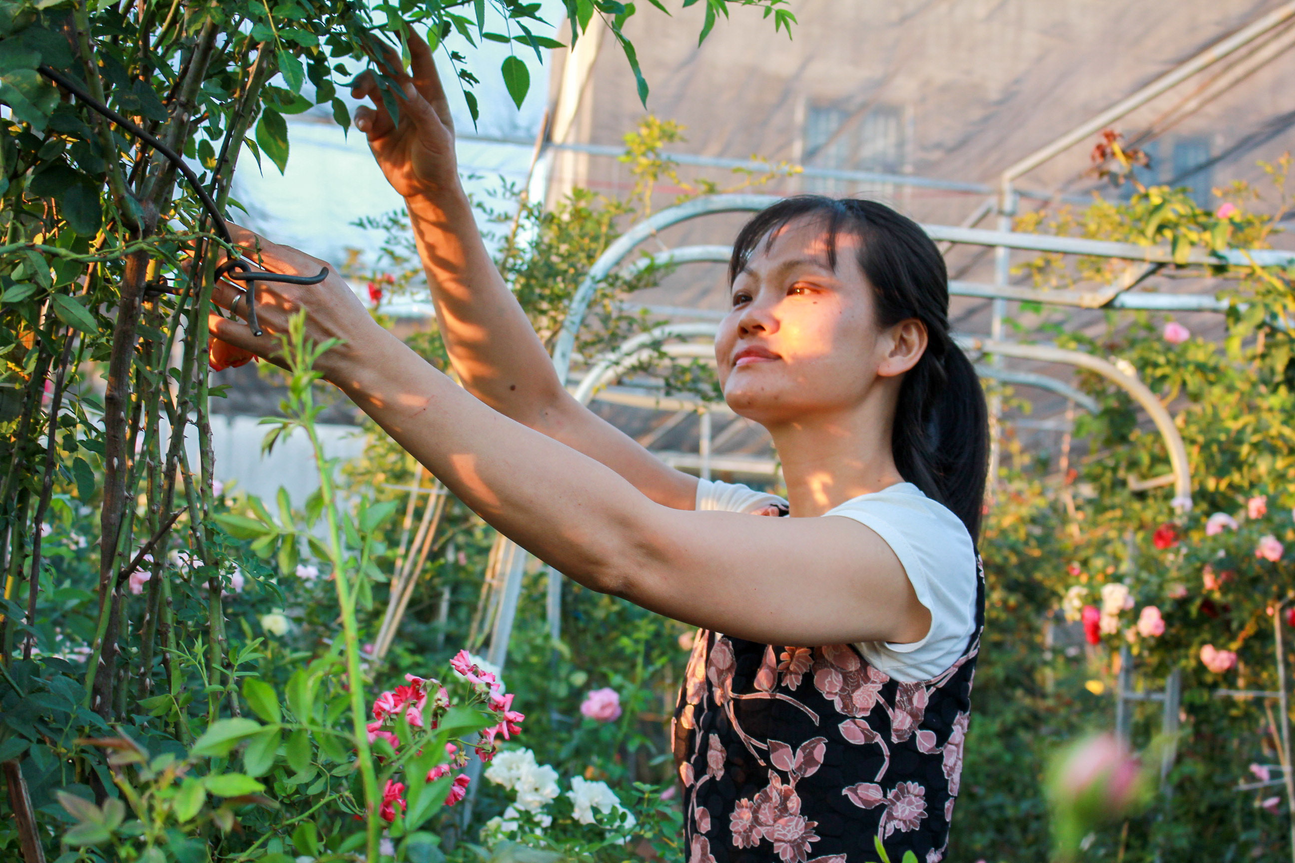 Vườn hồng 400 loài đẹp ngẩn ngơ của kỹ sư bỏ phố về núi