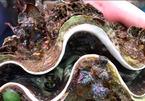 Cách sơ chế sò tai tượng quý hiểm ở Nhật Bản