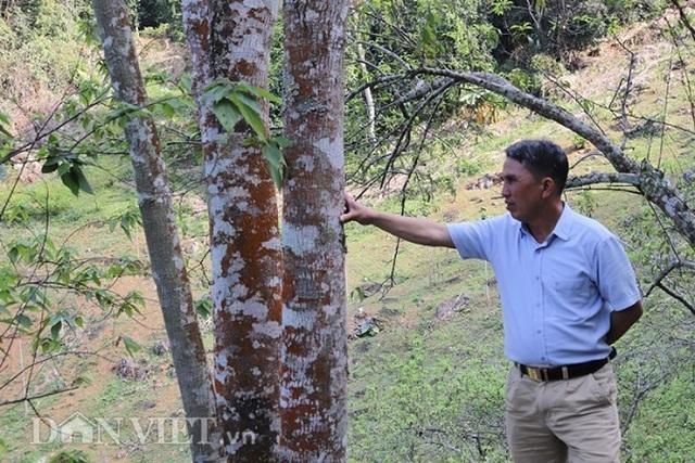 cây cổ thụ,tỷ phú nông dân