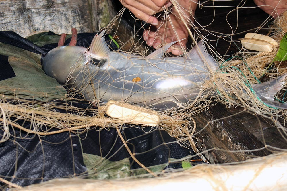 Cuộc săn loài cá 'nhìn là mê, ăn là phê' của ngư dân miền Tây