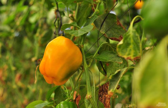 Bắp cải giá 1.000 đồng/bắp, nông dân định băm nhỏ ủ làm phân