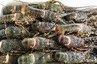 Rộ 'giải cứu tôm hùm', giá chỉ từ 495.000 đồng/kg