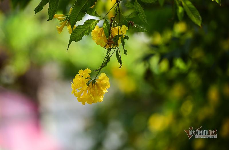 hoa huỳnh liên,cảnh đẹp sài gòn