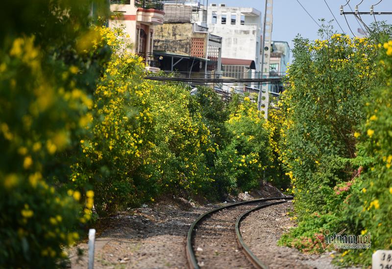 Hoa huỳnh liên rực rỡ ở đường tàu Sài Gòn