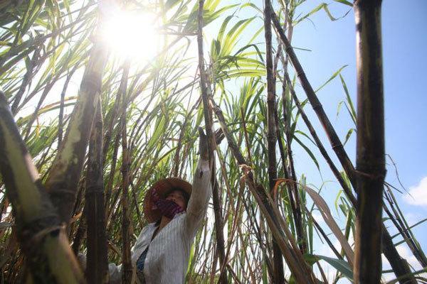Sugarcane no longer sweet for Mekong Delta's largest producer