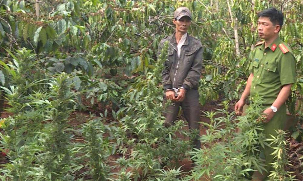 Tạm giữ người đàn ông trồng hàng nghìn cây cần sa trên rẫy cà phê