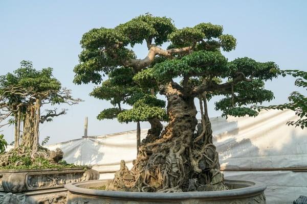 Hai cây sanh cổ trăm năm tuổi từng được trả giá trên 10 tỷ