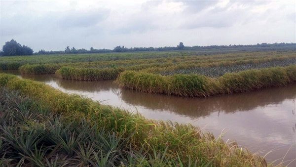 Kien Giang,farmers,high incomes,pineapple,shrimp and rice cultivation