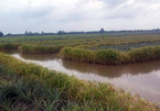 VN farmers earn high incomes from pineapple, shrimp and rice cultivation on same field