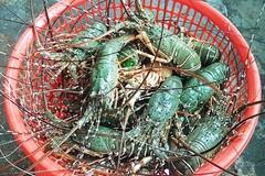 Sự thật về giá tôm hùm ở Phú Yên chỉ 200.000 đồng/kg
