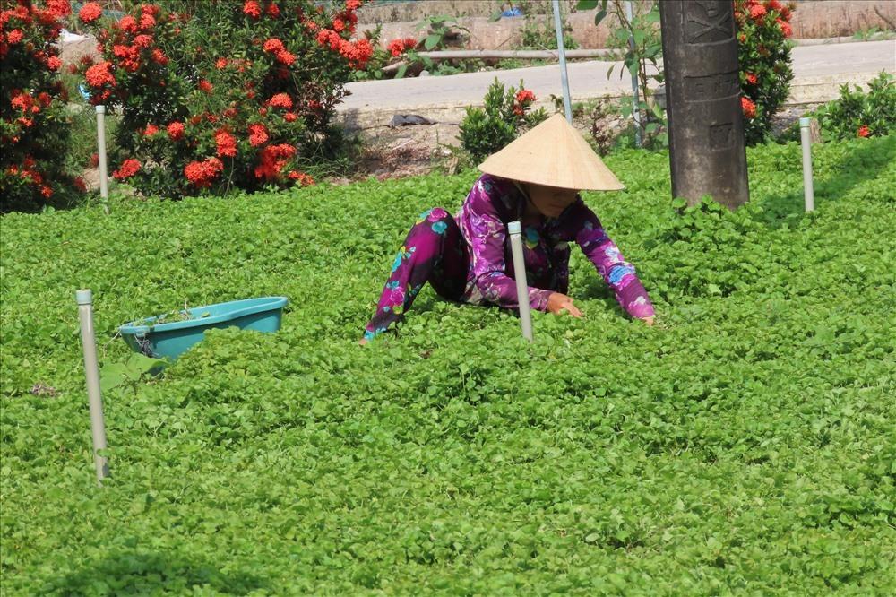 Kiếm dễ tiền triệu mỗi ngày từ rau má