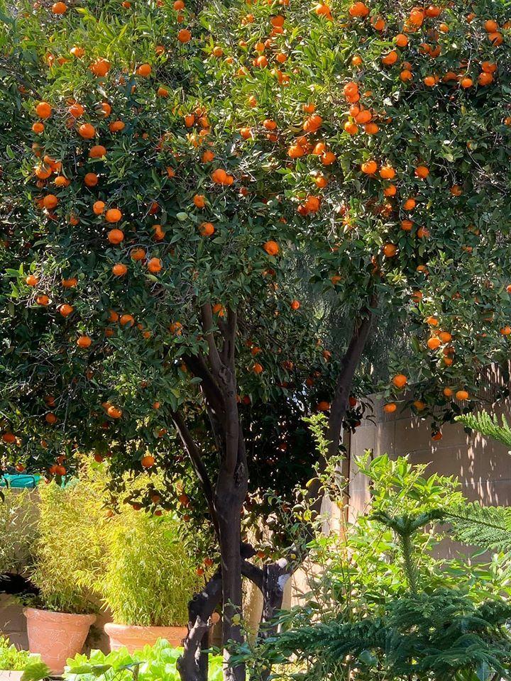 Vườn cây trĩu quả trong căn nhà của Phương Thảo - Ngọc Lễ tại Mỹ