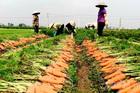 Cánh đồng 100 tỷ đồng rực 1 màu đỏ hiếm có Việt Nam