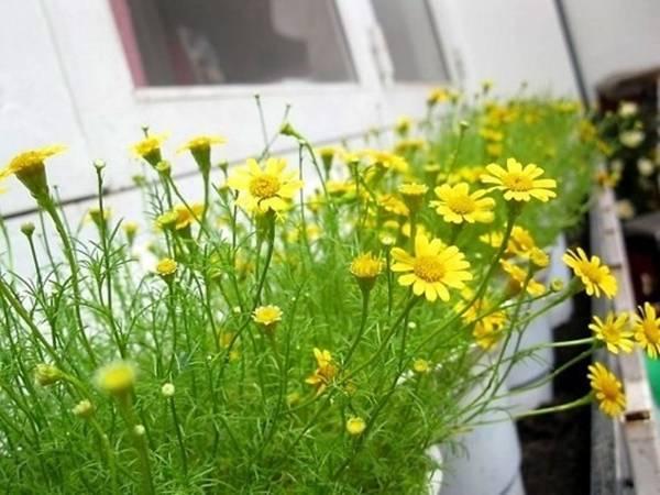 Ban công,trồng hoa ban công