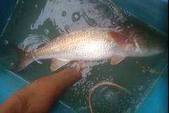 Loài cá quý hiếm, giá hàng trăm triệu vẫn bán công khai bất chấp lệnh cấm