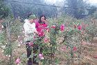 Trồng vườn hoa hồng cổ Sa Pa, sau 3 năm đã thu vài trăm triệu