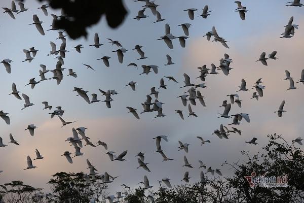 Đàn cò vạn con ở Hà Tĩnh, dân canh giữ như báu vật