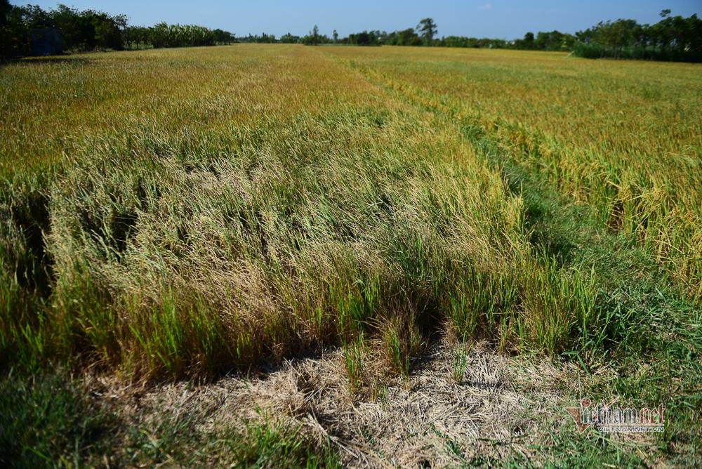 Hạn mặn sớm chưa từng có, vựa lúa mặn cháy bò ăn cũng chê