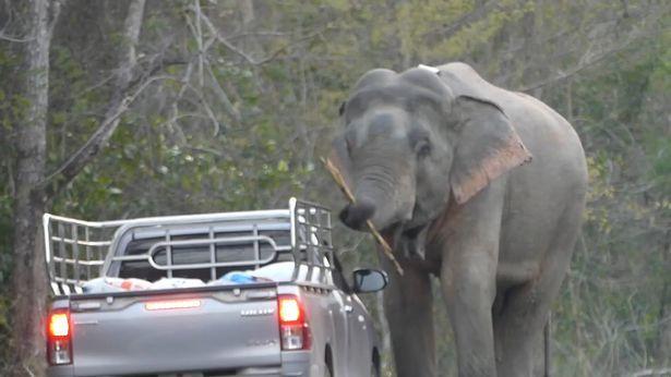 Tài xế ngỡ ngàng khi voi già chặn xe, dạy voi trẻ 'thó' đồ ăn