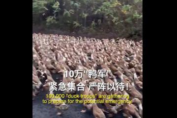 China may send ducks to battle Pakistan's locust swarms
