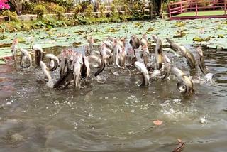 Tròn mắt với độc chiêu luyện cá lóc bay giữa hồ sen như diễn xiếc