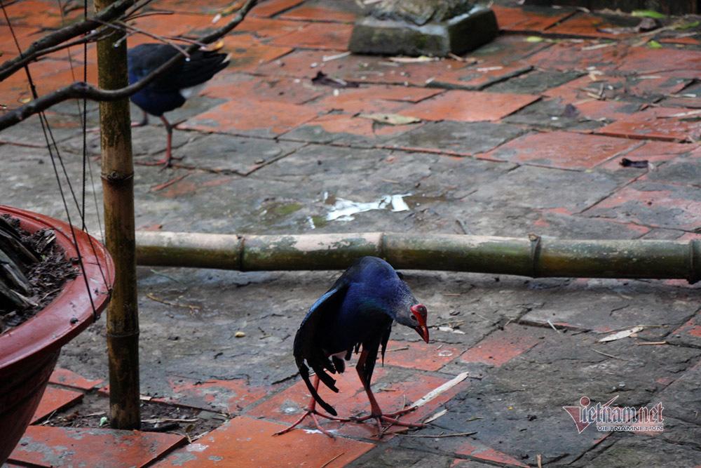 Loài chim múa đẹp đá hiểm, tính hung dữ nuôi canh nhà thay chó