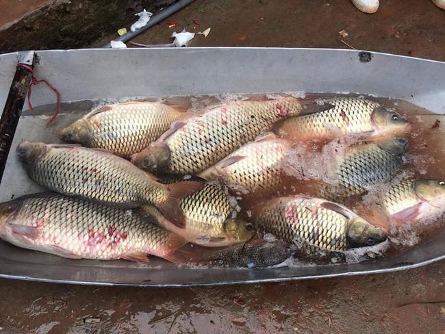 Chị bán cá chợ đầu mối tiết lộ bí mật cá chép nuôi gắn mác cá sông bán khắp chợ