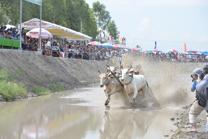 Ox racing festival in An Giang gears towards international status