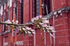Xứ Huế đẹp tựa bức tranh Nhật Bản trong mùa điệp anh đào