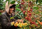VN coffee growers warned of gloomy future