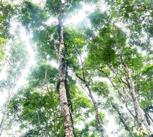 'Báu vật' rừng lim xanh cổ thụ độc nhất vô nhị của lão nông Hà Tĩnh