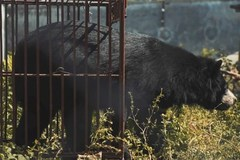 Short film released to help stop bear bile extraction