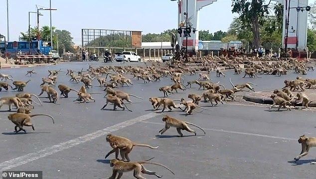 Đói khát vì vắng du khách, hàng trăm con khỉ ẩu đả giành thức ăn