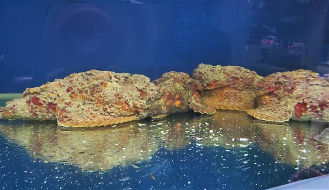 Cá xấu xí, toàn thân xù xì như đá... bán 10 triệu đồng/con ở Hà Nội